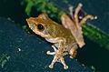 Frilled Tree Frog (Rhacophorus appendiculatus) (14262282082).jpg