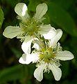 Fringed Grass of Parnassus (Parnassia fimbriata) - Waterton Lakes National Park - Flickr - Jay Sturner (1).jpg