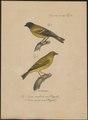 Fringilla nigriceps - 1835 - Print - Iconographia Zoologica - Special Collections University of Amsterdam - UBA01 IZ16000049.tif