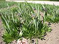Fritillaria uva-vulpis 01HD.jpg