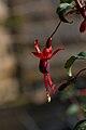 Fuchsia Riccartonii B.jpg