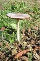 Fungo - Volvariella gloiocephala.jpg