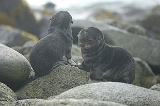 Fur seal - Pups on St. Paul Island, Alaska