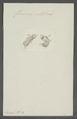 Furcocerca catellina - - Print - Iconographia Zoologica - Special Collections University of Amsterdam - UBAINV0274 105 15 0008.tif