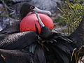 Galápagos Inseln, Ecuador (13917491153).jpg