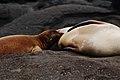 Galápagos sea lions (4229115168).jpg