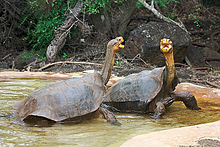 Two tortoises with their necks extended.