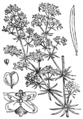 Galium verum BF-1880.png