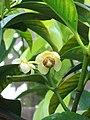 Garcinia macrophylla (1).jpg
