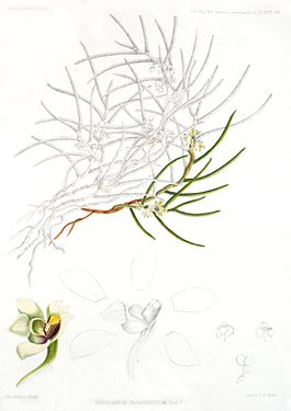 Gastrochilus inconspicuus - A Century of Indian Orchids pl 69 (1895).jpg