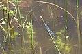 Gemeine Becherjungfer Enallagma cyathigerum 6411.jpg