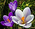 Geneva Crocuses (252111845).jpeg