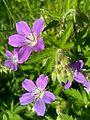 Geranium sylvaticum 05.jpg