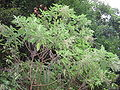 Gesnouinia arborea.jpg