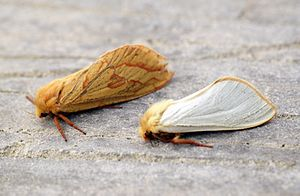 Ghost moth - Female ghost moth (left) and male ghost moth (right)