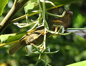 Giant Forest Honeyeater DeVoeux.JPG