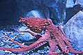 Giant Pacific Octopus.jpg