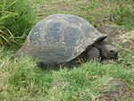 Gigantic Turtle on the Island of Santa Cruz in the Galapagos.JPG