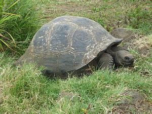 Giant tortoise - Galápagos tortoise, Giant Tortoise on Santa Cruz Island (Galápagos)