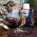 Gilyan breedГилянские куры (Королев Александр).jpg