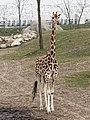 Giraffe (40494726155).jpg