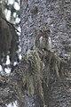 Glaucidium passerinum Rila Bulgaria Stefan Avramov 3.jpg