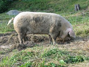 Gloucestershire Old Spots - A good example of an adult GOS sow (side)