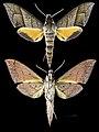 Gnathothlibus heliodes MHNT CUT 2010 0 64 Gavaina New Guinea male.jpg