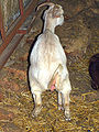 Goat urinating on an organic farm in Israel.jpg