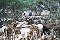 Goats tuareg niger 2003.jpg