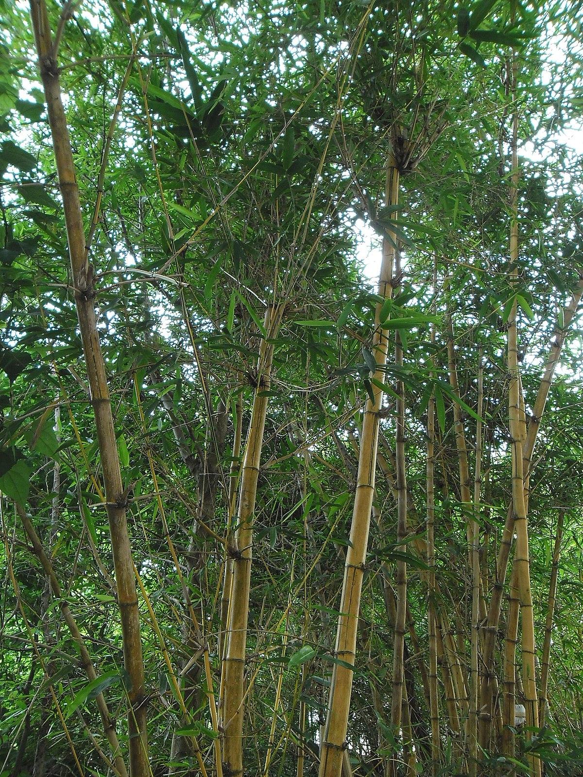 Nom scientifique du bambou