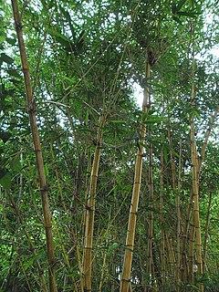 <i>Bambusa vulgaris</i> species of plant