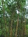Golden Bamboo(Bambusa vulgaris) in Hong Kong.jpg