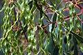 Golden wattle Acacia pycnantha (8209191831).jpg