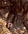 Goliath Tarantula (Theraphosa blondi) female on its back, molting ... (36459520345).jpg