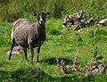 Gotlandsk pelsfaar.jpg