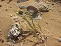 Gozo - Ramla Bay - Dune.jpg