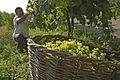 Grape Harvesting in Armenia 5954.jpg