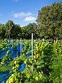 Grape plants and bird nets in Chateaux Luna vineyard 4.jpg