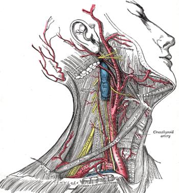 Topographische Anatomie: Hals – Wikibooks, Sammlung freier Lehr ...