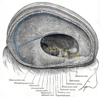 Great cerebral vein - Dura mater and its processes exposed by removing part of the right half of the skull, and the brain. (Great cerebral vein labeled at bottom left.)