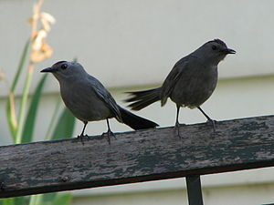 Gray Catbird mother and child
