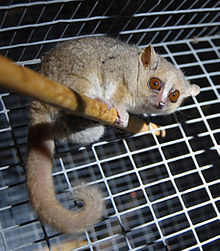 Gray mouse lemur perched on a wood rod in a wire cage