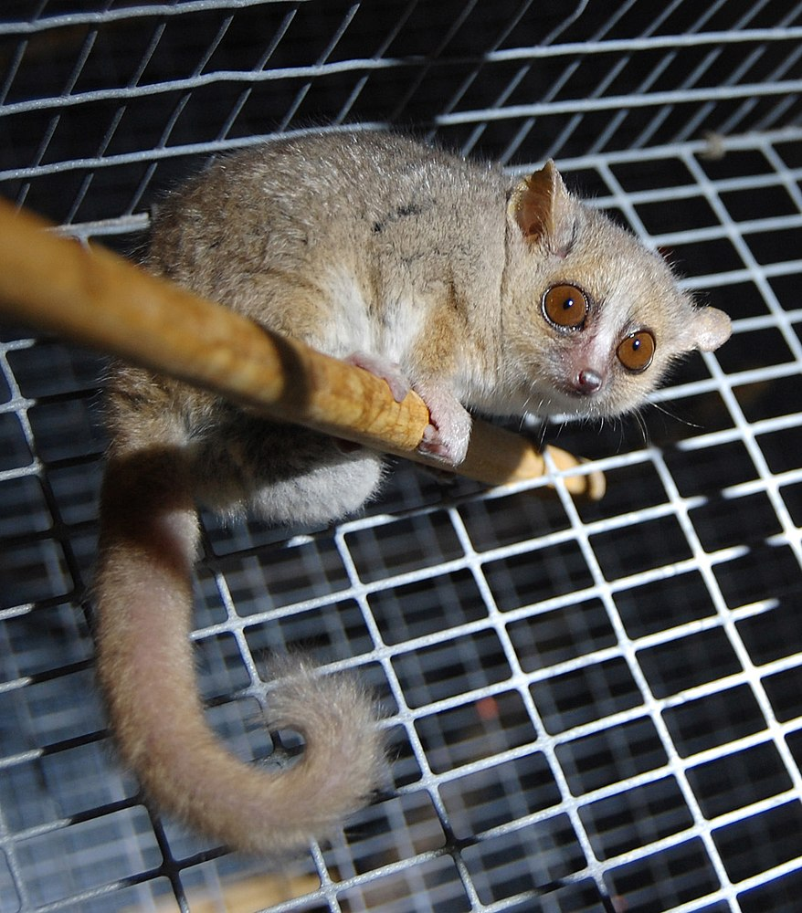 The average litter size of a Gray mouse lemur is 2