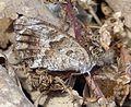 Grayling. Hipparchia semele - Flickr - gailhampshire.jpg
