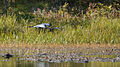 Great Blue Heron (Ardea herodias) in Flight - Algonquin Provincial Park, Ontario 04.jpg