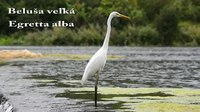 File:Great egret (Ardea alba) in Slovakia.webm