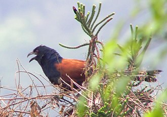 Coucal - Greater coucal