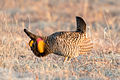 Greater Prairie Chicken (Tympanuchus cupido) (20163651658).jpg