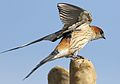 Greater Striped Swallow, Hirundo cucullata (syn. Cecropis cucullata), at Marievale Nature Reserve, Gauteng, South Africa (29876159364).jpg